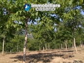 Land with walnut trees for sale in Palmoli, not far from the sea, Abruzzo 1
