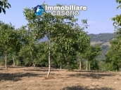 Land with walnut trees for sale in Palmoli, not far from the sea, Abruzzo 2