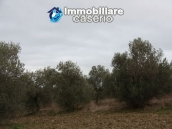 Realise your country house with two hectares of olive groves 6